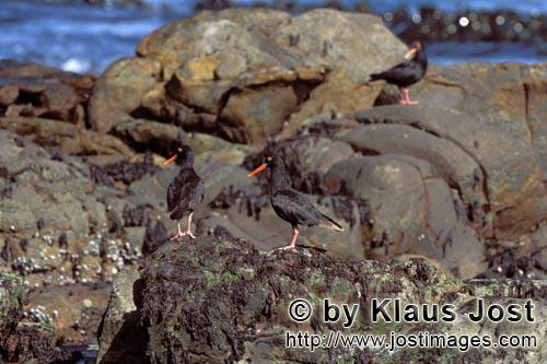 Schwarzer Austernfischer/African black Oystercatcher/Haematopus moquiniAfrican black OystercatcherThe African Black Oystercatcher (Haematopus moquini) is the only species of Oystercatchers that breeds in Africa. They breed between March and September. The rare and endemic coastal bird in South Africa is acutely threatened by extinction. Although 75 percent of the world population of the Black Oystercatcher lives in South Africa and on the coast of Namibia, less than 500 breeding pairs were counted in 2001. The species is on the red list, and immediate protective measures are urgently required.