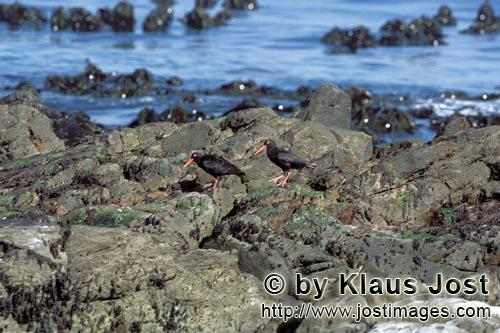 Schwarzer Austernfischer/African black Oystercatcher/Haematopus moquiniAfrican black Oystercatcher The African Black Oystercatcher (Haematopus moquini) is the only species of Oystercatchers that breeds in Africa. They breed between March and September. The rare and endemic coastal bird in South Africa is acutely threatened by extinction. Although 75 percent of the world population of the Black Oystercatcher lives in South Africa and on the coast of Namibia, less than 500 breeding pairs were counted in 2001. The species is on the red list, and immediate protective measures are urgently required.