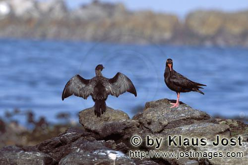 Schwarzer Austernfischer/African black Oystercatcher/Haematopus moquiniAfrican black Oystercatcher and Bank cormorantThe African Black Oystercatcher (Haematopus moquini) is the only species of Oystercatchers that breeds in Africa. They breed between March and September.The rare and endemic coastal bird in South Africa is acutely threatened by extinction. Although 75 percent of the world population of the Black Oystercatcher lives in South Africa and on the coast of Namibia, less than 500 breeding pairs were counted in 2001. The species is on the red list, and immediate protective measures are urgently required.