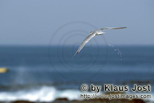 Eilseeschwalbe/Swift tern/Sterna bergii        Swift tern move onto the sea