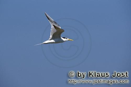 Eilseeschwalbe/Swift tern/Sterna bergii        Swift tern in flight