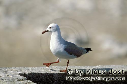Hartlaub´s gull/Larus hartlaubii        Hartlaub´s gull on a wall        This beautiful gull sp
