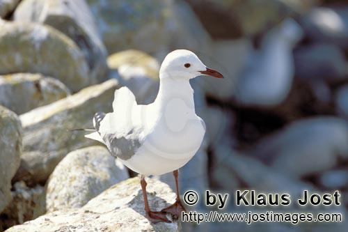 Hartlaub´s gull/Larus hartlaubii        Hartlaub´s gull in rocky terrain        This beautiful