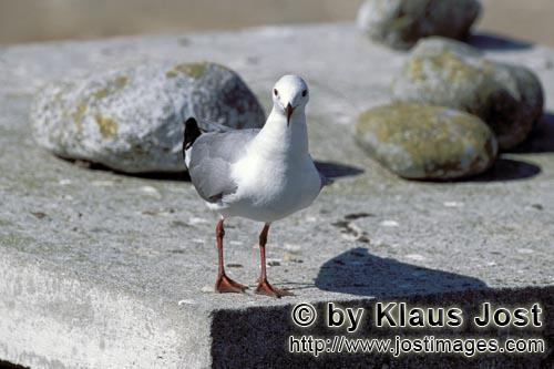 Hartlaub´s gull/Larus hartlaubii        Hartlaub´s gull with stones        This beautiful gull