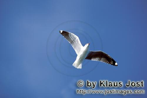 Hartlaubmoewe/Hartlaub´s gull/Larus hartlaubii Hartlaub´s gull over the South Atlantic Ocean