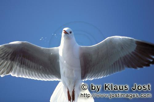 Hartlaub´s gull/Larus hartlaubii        Hartlaub´s gull from below        This beautiful gull s