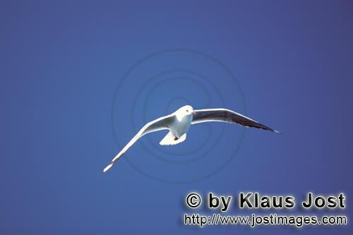 Hartlaub´s gull/Larus hartlaubii        Hartlaub´s gull near Dyer Iceland        This beautiful <b