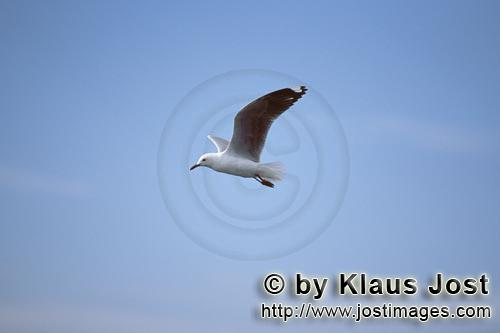 Hartlaubmoewe/Hartlaub´s gull/Larus hartlaubii        Hartlaub´s gull flies to the sea