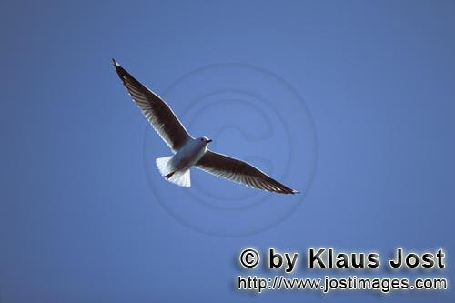 Hartlaubmoewe/Hartlaub´s gull/Larus hartlaubii        Hartlaub´s gull over the sea