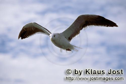 Kelp gull/Larus dominicanus        Kelp gull in flight        The Kelp Gull is one of the