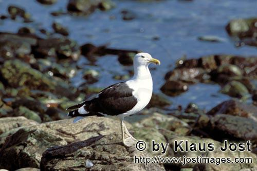 Kelp gull/Larus dominicanus        Kelp gull on a rocky beach        The Kelp Gull is one of