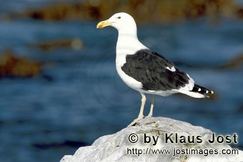 Kelp gull/Larus dominicanus        Kelp gull on the lookout        The Kelp Gull is one of th