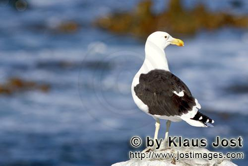 Kelp gull/Larus dominicanus        Kelp gull on a rock        The Kelp Gull is one of the