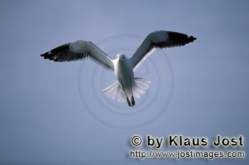 Kelp gull/Larus dominicanus        Kelp gull flying over the sea        The Kelp Gull is one