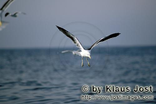 Kelp gull/Larus dominicanus        Kelp gull has discovered fish remnants        The Kelp Gull</b