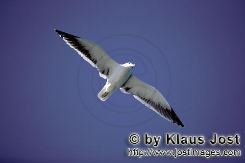 Kelp gull/Larus dominicanus        Kelp gull with extended wings        The Kelp Gull is one