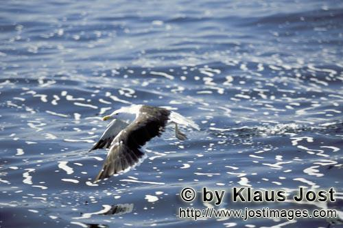 Kelp gull/Larus dominicanus        Kelp gull over troubled sea        The Kelp Gull is one of