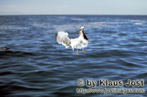 Kelp gull/Larus dominicanus        Kelp gull close to the sea        The Kelp Gull is one of