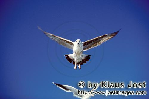 Kelp gull/Larus dominicanus        Kelp gulls on approach        The Kelp Gull is one of the