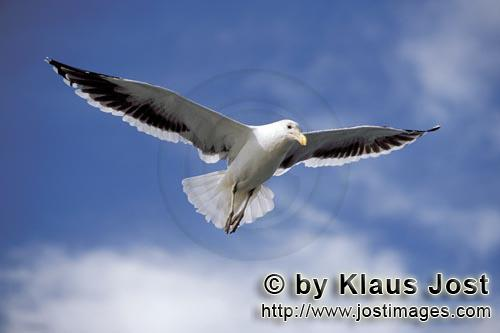 Kelp gull/Larus dominicanus        Kelp gull in gliding flight        The Kelp Gull is one of