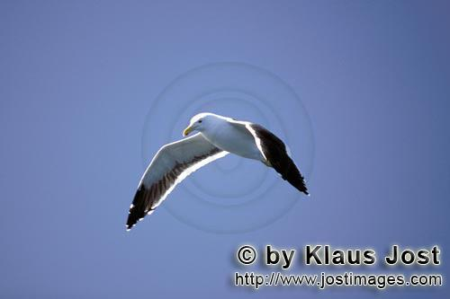 Kelp gull/Larus dominicanus        Kelb gull in flight        The Kelp Gull is one of the