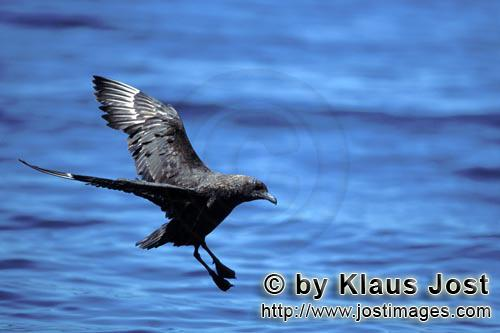 Schmarotzerraubmoewe/Subantarctic Skua/Catharacta antarctica        Subantarctic Skua lands on water