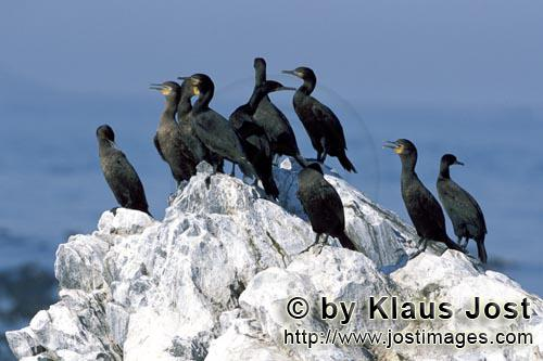 Kapscharbe/Cape Cormorant/Phalacrocorax capensis        Cape Cormorants