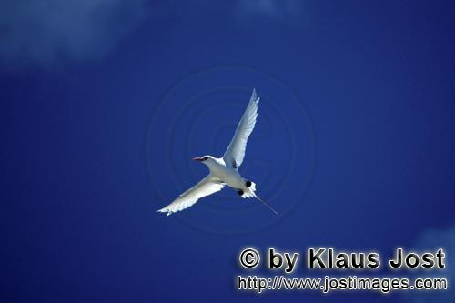 Red-tailed tropicbird/Phaeton rubricauda        Flying Red-tailed tropicbirds