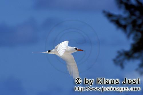 Red-tailed tropicbird/Rhaethon rubicauda        Red-tailed tropicbird bird returns on land