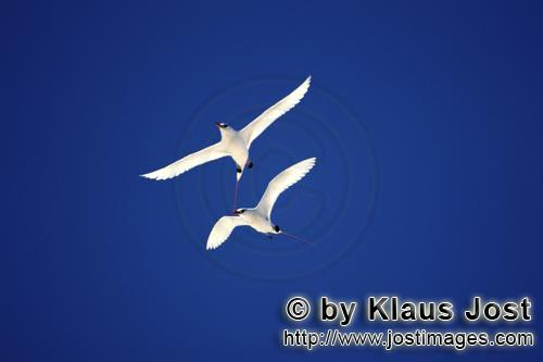 Rotschwanz-Tropikvogel/Red-tailed tropicbird/Rhaethon rubicaudaFlying Red-tailed tropicbirds