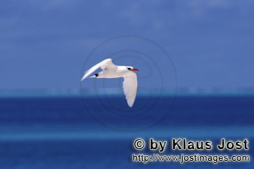 Rotschwanz-Tropikvogel/Red-tailed tropicbird/Rhaethon rubicaudaRed-tailed tropicbird over the sea