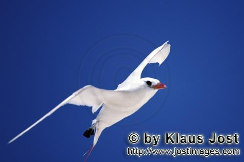 Red-tailed tropicbird/Rhaethon rubicauda        Red-tailed tropicbird on the midway sky