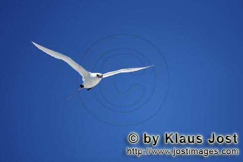 Red-tailed tropicbird/Rhaethon rubicauda        Flying Red-tailed tropicbird