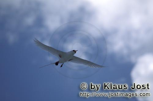 Rotschwanz-Tropikvogel/Red-tailed tropicbird/Rhaethon rubicauda        Flying Red-tailed tropicbird