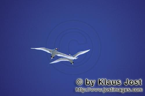 Rotschwanz-Tropikvogel/Red-tailed tropicbird/Rhaethon rubicauda        Flying Red-tailed tropicbirds