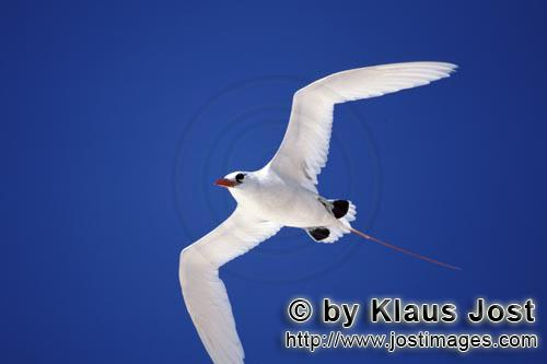 Red-tailed tropicbird/Rhaethon rubicauda        Red-tailed Tropicbird on the deep blue midway sky</b