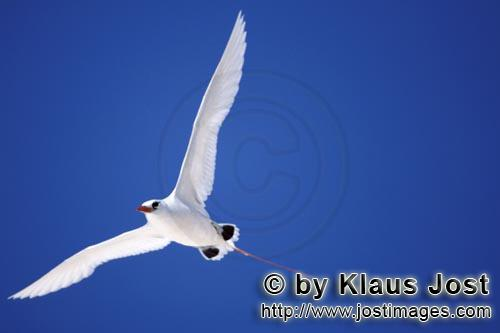 Rotschwanz-Tropikvogel/Red-tailed tropicbird/ Phaeton rubricaudaFlying Red-tailed tropicbird