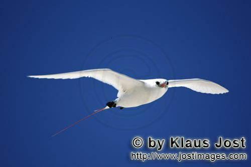 Red-tailed tropicbird/Rhaethon rubicauda        Red-tailed Tropicbird in the gliding flight