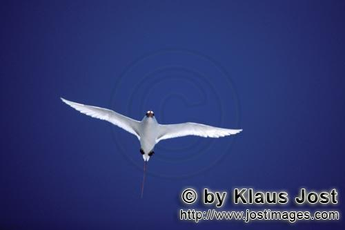 Red-tailed tropicbird/Rhaethon rubicauda        Red-tailed tropicbird on the lookout over the sea</b