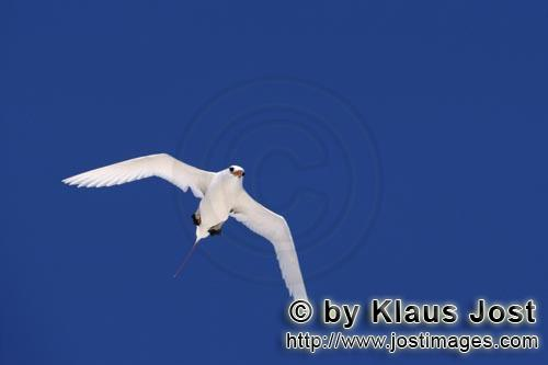Red-tailed tropicbird/Rhaethon rubicauda        Flying Red-tailed tropicbird on the way over the sea