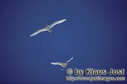 Rotschwanz-Tropikvogel/Red-tailed tropicbird/Phaethon rubicaudaFlying Red-tailed tropicbirds