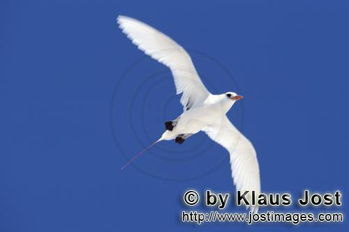 Rotschwanz-Tropikvogel/Red-tailed tropicbird/Rhaethon rubicauda        Flying Red-tailed tropicbird<