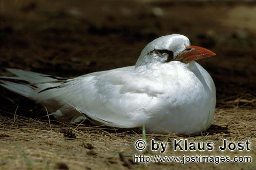 Rotschwanz-Tropikvogel/Red-tailed tropicbird/Rhaethon rubicaudaRed-tailed tropicbird on the ground