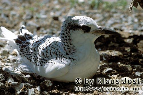 Rotschwanz-Tropikvogel/Red-tailed tropicbird/Rhaethon rubicaudaRed-tailed tropic bird chick