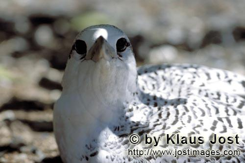 Rotschwanz-Tropikvogel/Red-tailed tropicbird/Phaeton rubricaudaRed-tailed tropic bird chick