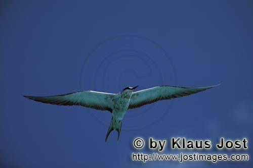 Sooty Tern/Sterna fuscata oahuensis        Sooty tern at the midway sky