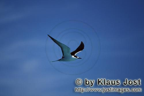 Sooty Tern/Sterna fuscata oahuensis        Sooty Tern on the way to Eastern Island