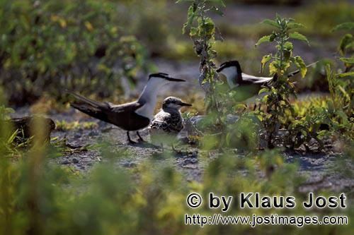 Sooty Tern/Sterna fuscata oahuensis        Sooty Terns with chicks