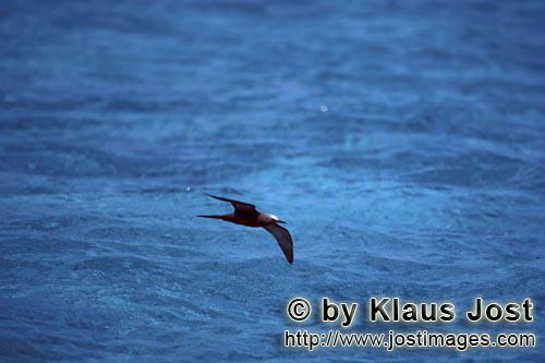 Noddy-Seeschwalbe/Brown Noddy/anous stolidus pileatus        Brown Noddy over the sea        The