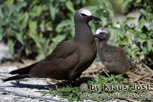 Noddy-Seeschwalbe/Brown Noddy/Anous stolidus pileatus        Brown Noddy with chick        The Br